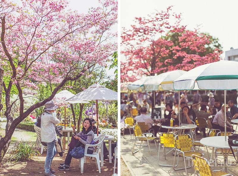 Цветение глицинии в парке Ашикага, Точиги / Япония