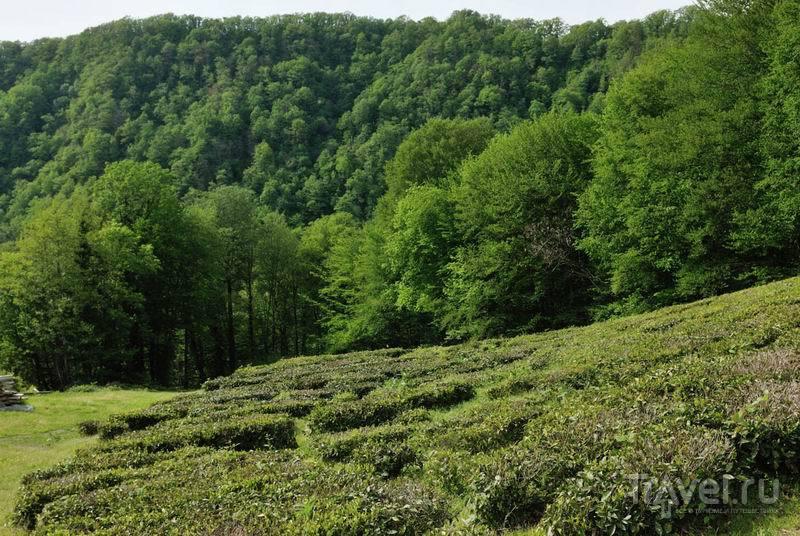 Чайная плантация на Мацесте / Россия