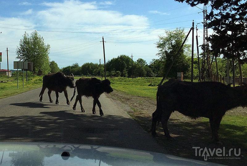Местные коровы / Россия