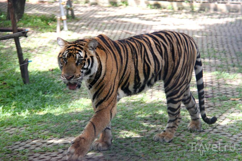 Tiger Kingdom, Пхукет / Фото из Таиланда