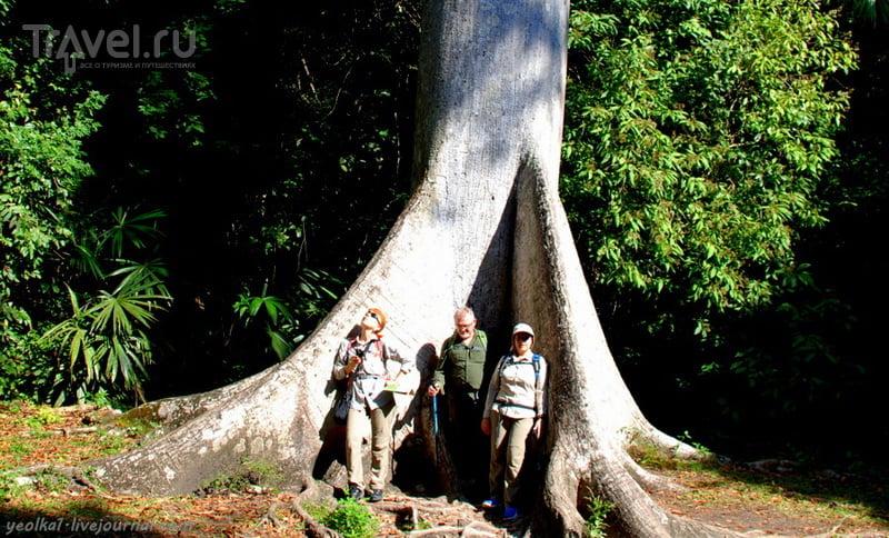 """Сейба  - """"мировое древо"""" майя / Фото из Гватемалы"""