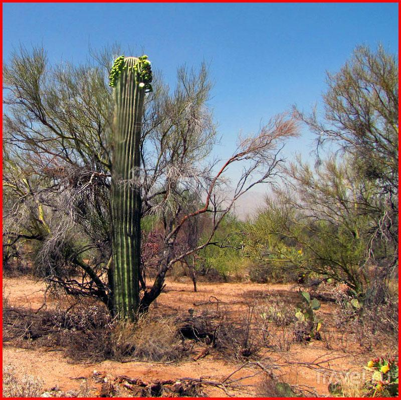 Аризона. В кактусовой стране... / Фото из США
