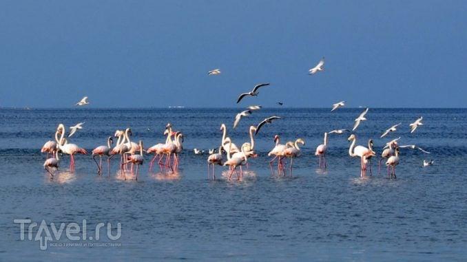Фламинго на Джербе / Фото из Туниса