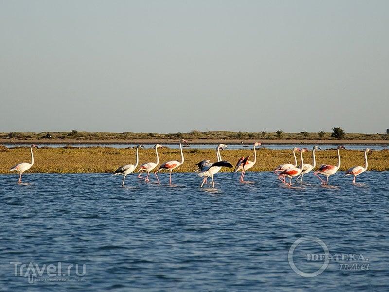 Фламинго в лагуне на Джербе, Тунис / Фото из Туниса