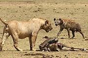 Кения, Национальный парк Амбосели. Фото: olevka.photosight.ru