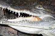 Нильский крокодил. Фото: ekzotika.com