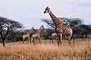 Жирафы в заповеднике. // ИТАР-ТАСС