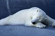 Полярный медведь разрешает себя гладить незрячим посетителям зоопарка. // GettyImages