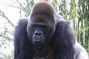 Горилл поселили на острове, чтобы защитить поля крестьян. // mishuna.image.pbase.com