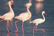 Фламинго на озере Накуру. // GettyImages