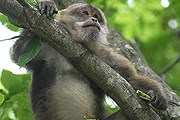 Тибетские макаки могут стать вымирающим видом. // The Animal Diversity Web