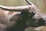 Индийский буйвол относится к числу наиболее крупных быков. // floranimal.ru
