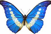 Самая дорогая бабочка в мире - Morpho Helena. // worldinsect.com