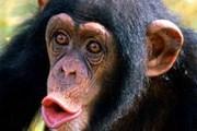 Израильские шимпанзе смотрят фильм о своих сородичах. // MIGnews.com