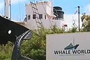 Олбани стал «китовым миром». // НТВ