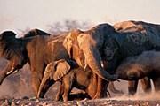 Слоны в парке Этоша//tagasafaris.co.za
