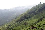Чайная плантация в Дарджилинге. // wikipedia.org