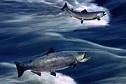 Наблюдать за лососем будут экологи и туристы. // GettyImages