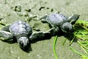 Организованы туры с возможностью наблюдения за морскими черепахами. // marinecreatures.com