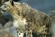 В стране осталось не более 200 особей этого редкого вида семейства кошачьих. // Wikipedia