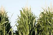 Лабиринт устраивают на кукурузном поле. // GettyImages