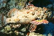 Опасная рыба-камень // thunderstruckobservatory.com