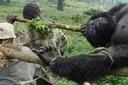 Парк Вирунга является домом для 200 особей горных горилл. // guardianweekly.co.uk