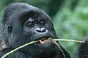 Популяция горилл на территории парка Такаманда оценивается в 115 особей. // Floranimal.ru
