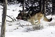 Наблюдение за волками требует терпения. // Jim Peaco