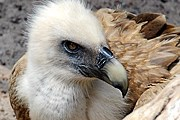 На острове заботятся о белоголовых сипах. // wikimedia.org