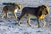 Львов травят даже на территории заповедников. // Travel.ru