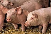 Свиной фестиваль привлекается множество посетителей. // ilaca.org