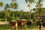 Шри-Ланка - экзотический и удивительный остров. // А.Баринова