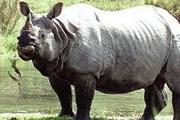 Белый носорог гораздо малочисленнее другого африканского вида, черного носорога. // floranimal.ru