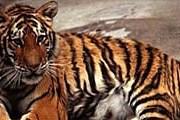 Результаты позволят установить число тигров в 37 заповедниках страны. // zooclub.ru