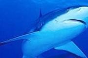 30% акул находятся на грани вымирания. // beseder.co.il