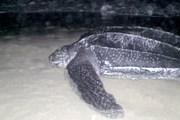 Туризм спасет черепах. // dr1.com