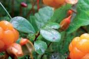 Сборщики ягод получают визу по другим правилам. // arctic-flavours.fi