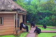 Гориллы навещают туристов в лагере. // dailymail.co.uk