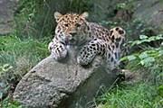 Один из леопардов в парке // orsagronklitt.se