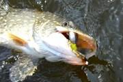 На удочку и спиннинг за день можно выловить до 20 килограммов рыбы. // go-baikal.ru