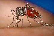 Вирус лихорадки денге переносят москиты. // gather.com