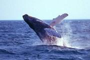 Горбатый кит может достигать 15 метров в длину. // floranimal.ru