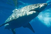 Активность акул на планете возросла. // iStockphoto