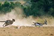 Сафари - визитная карточка Кении. // eastafricashuttles.com