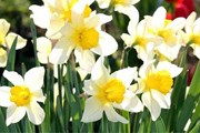 В течение пяти недель будут цвести 200 тысяч тюльпанов, нарциссов и других весенних цветов. // supersadovnik.ru