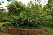 Дерево обнесено забором. // dailymail.co.uk
