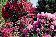 Посетители ботанического сада смогут полюбоваться цветущими рододендронами. // liveinternet.ru