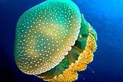 Австралийские пятнистые медузы не опасны для человека. // wikipedia.org