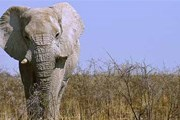Браконьеры охотятся на слонов ради бивней. // ecology.com